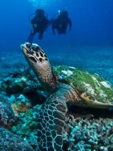 Turtle_Diver