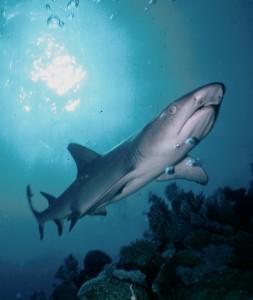 sharks komodo